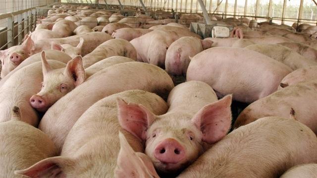 Polémica por la importación de cerdo